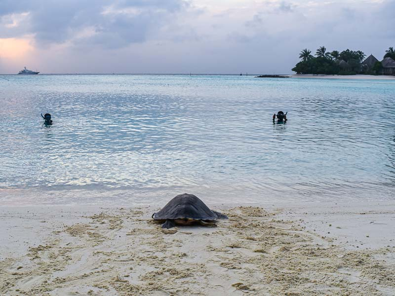 Zubeen Olive Ridley turtle rehabilitation release Maldives