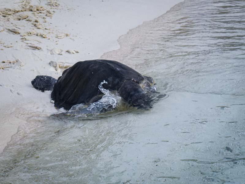 Zubeen Olive Ridley turtle rehabilitation release Maldives