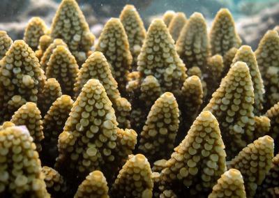 Acropora gemmifera corallites Reefscapers Maldives