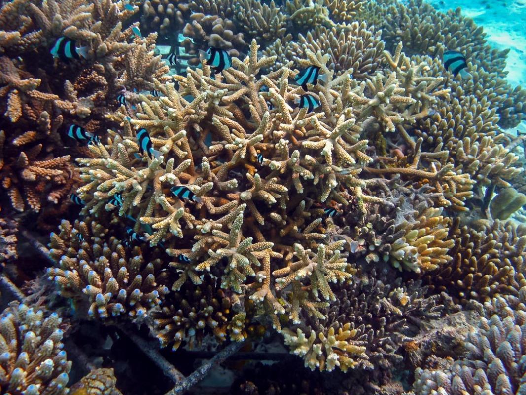 Acropora pulchra - brown-cream colour Reefscapers Maldives