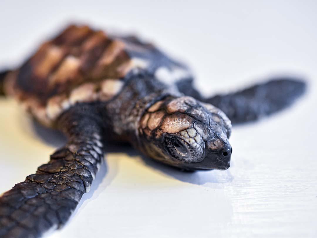 Sunset - green turtle hatchling Marine Savers Maldives