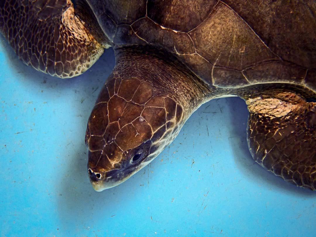 Lenny stranded Olive Ridley turtle Maldives