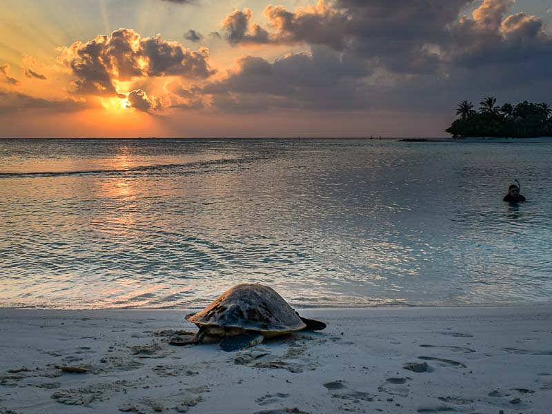 Valentine release rehabilitated turtle Maldives