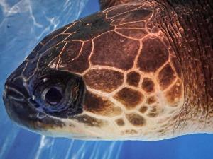 Valentine rescued Olive Ridley turtle Maldives (Alexia)