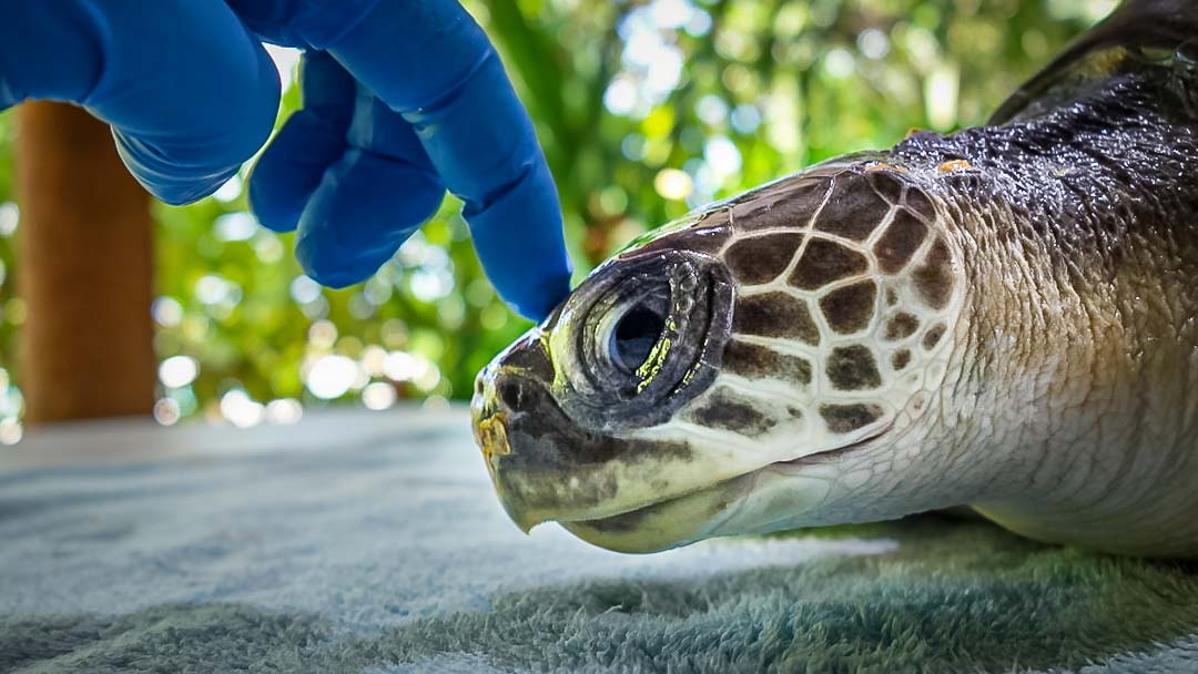 Zaby rescued Olive Ridley turtle Marine Savers Maldives