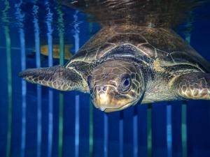 Georgia turtle entanglement ghost net Maldives (Georgia)