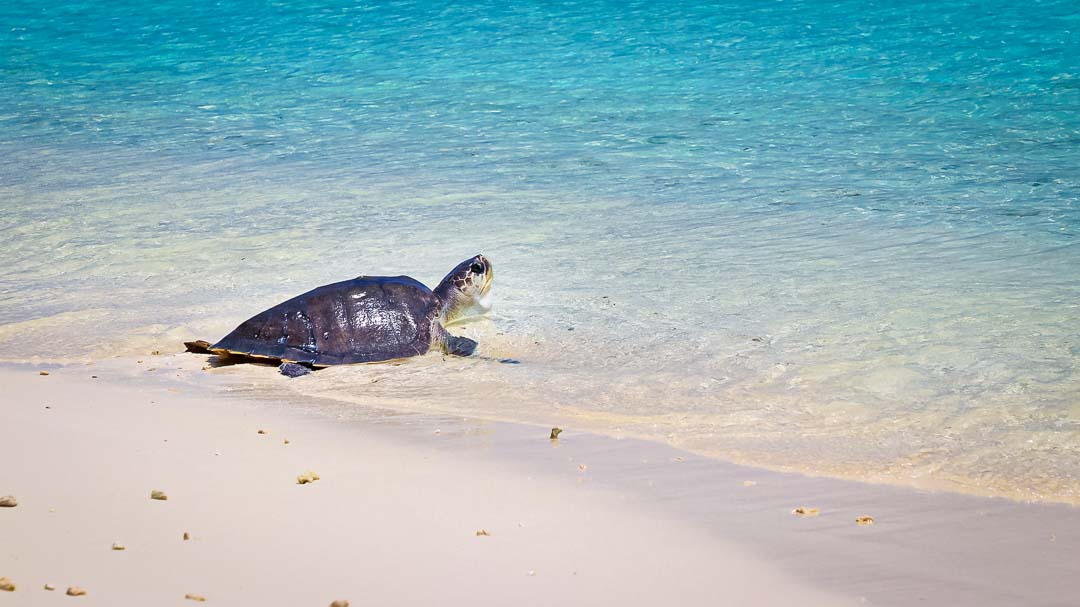 Luchi turtle rescue rehabilitation release Maldives