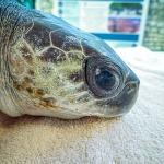 Sazna stranded Olive Ridley turtle rescue Maldives
