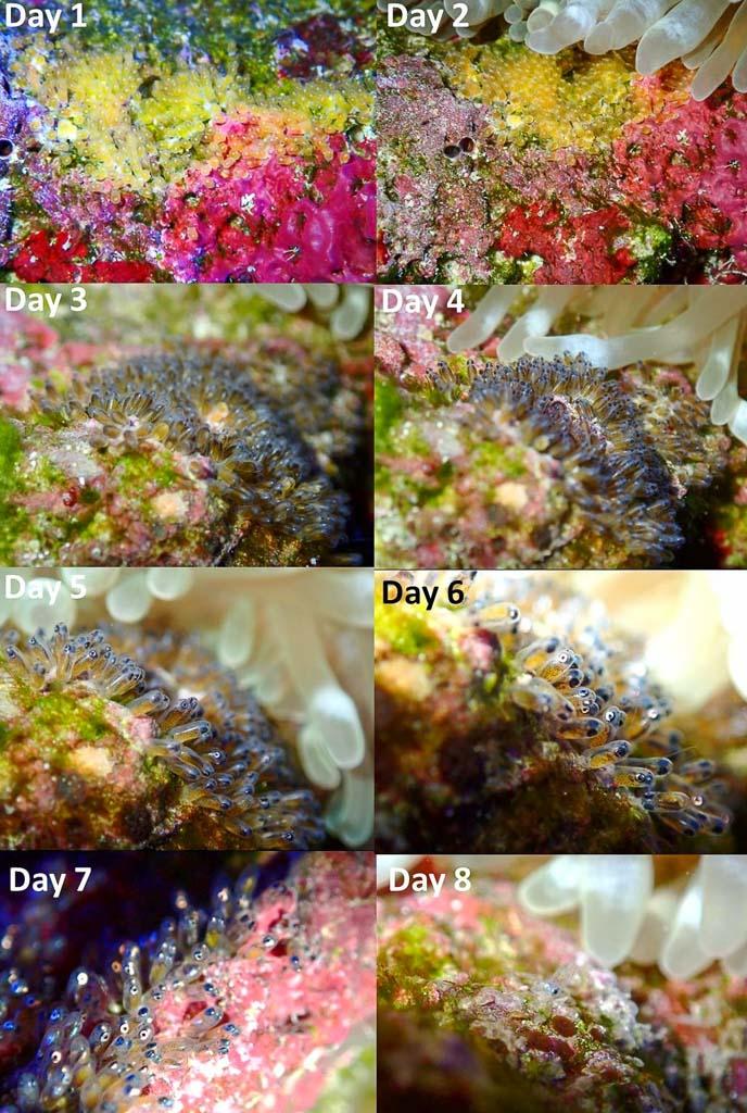Aquarium Clark's anemonefish egg development
