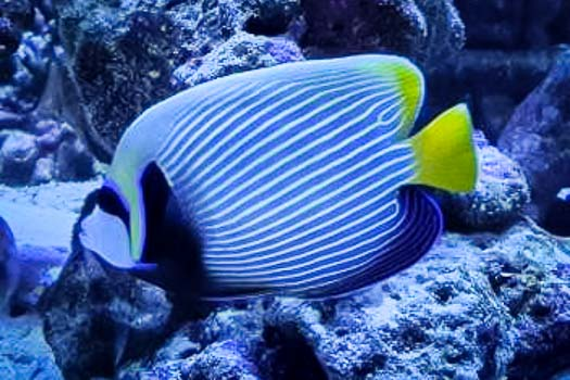 Emporer angel fish (Pomacanthus imperator)