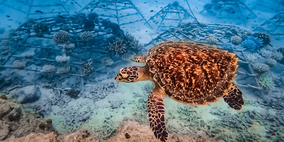 Cleo Hawksbill turtle released into ocean Maldives