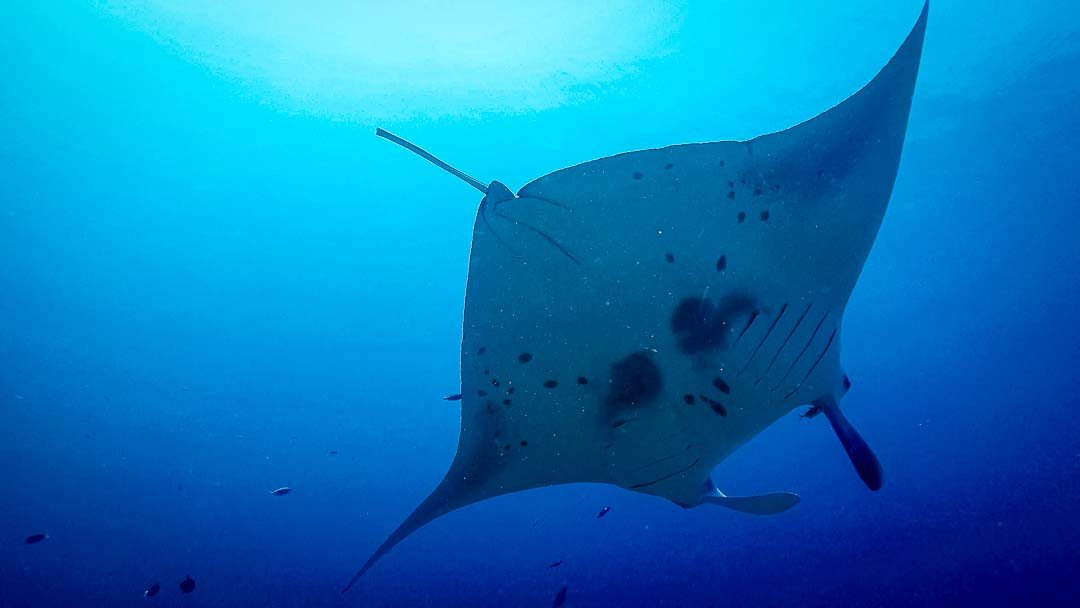 Maanee marine biologist Maldives manta ray
