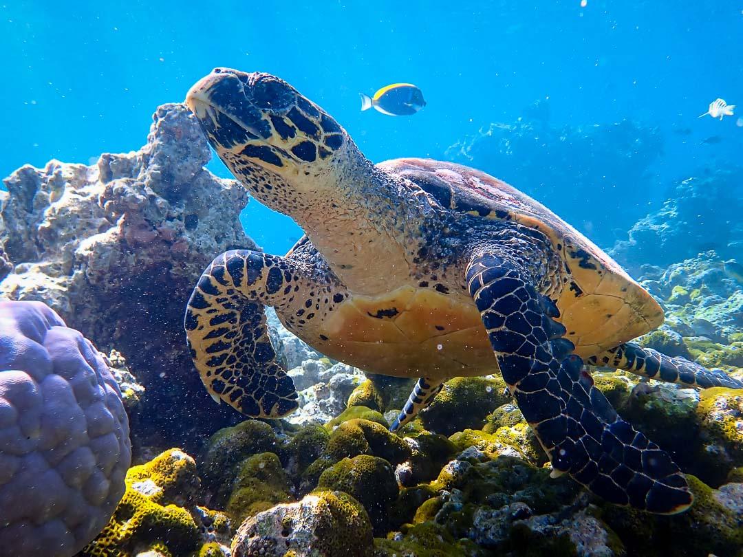 Maanee marine biologist Maldives turtle safari Hawksbill
