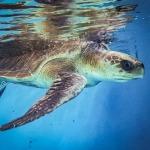 Nilukshi stranded female Olive Ridley turtle Maldives