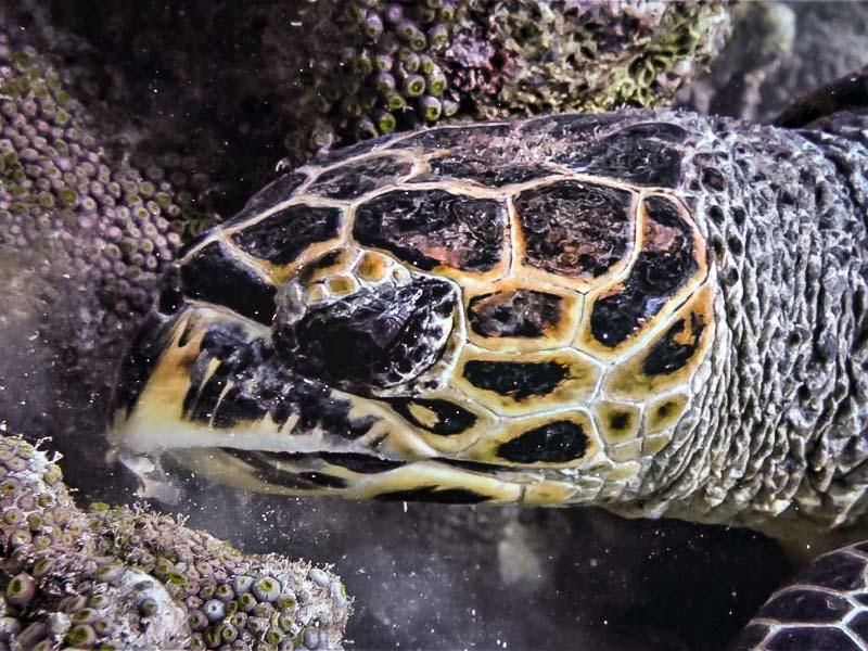 Sea Turtle photo identification project Maldives EI1214