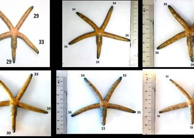 Sea star arm regeneration Linckia multifora
