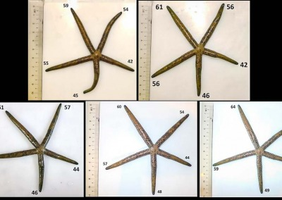 Sea star arm regeneration Linckia multifora (SS3)