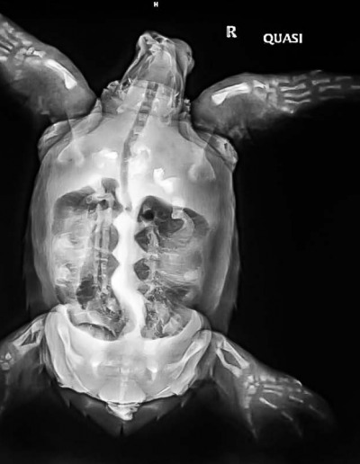Sea turtle diagnostic X-ray Maldives - Quasi