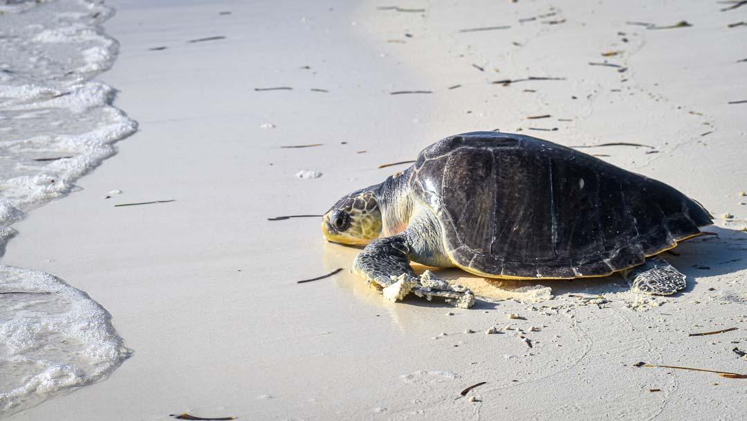 Token stranded Olive Ridley turtle Maldives released