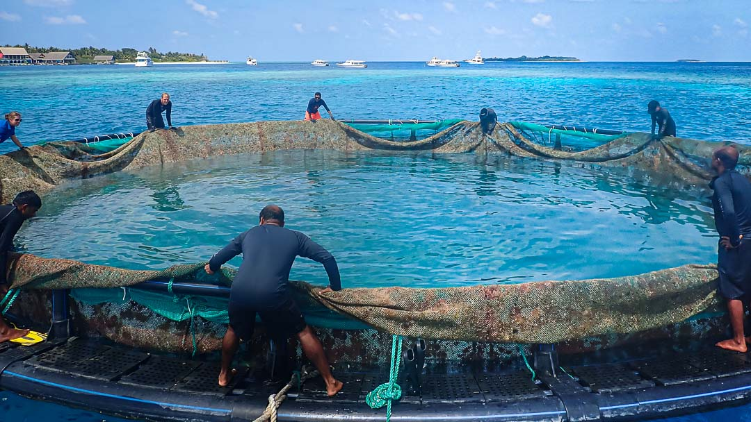 turtle enclosure Maldives – removal of the netting
