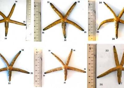 Aquarium regenerating sea star SS1