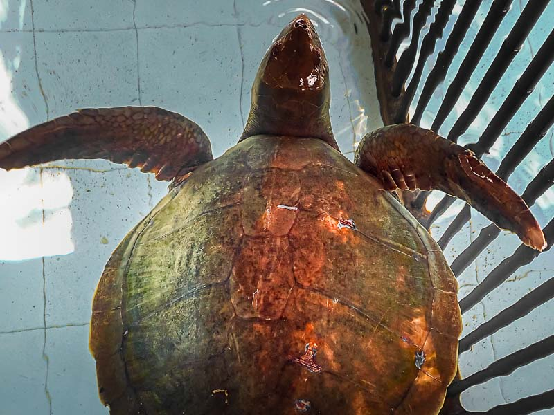 Cassiopeia stranded Olive Ridley turtle Maldives