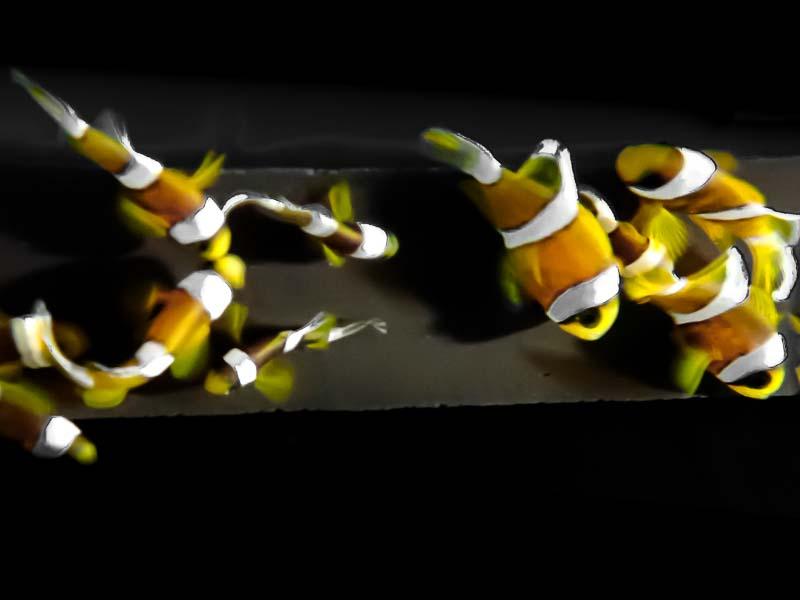 Fish Lab clownfish breeding juveniles Maldives
