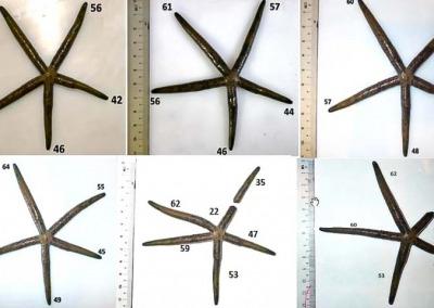Aquarium SS3 sea star Linckia multiflora regenerative growth