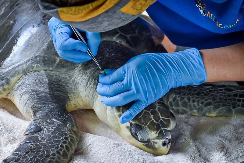 Barbara injured Olive Ridley rescue turtle Maldives