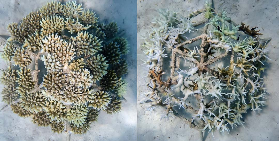 Reefscapers Acropora coral bleaching Maldives (left A.digitifera, right A.muricata)