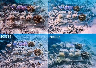 Coral bleaching (KH1969) partial shade