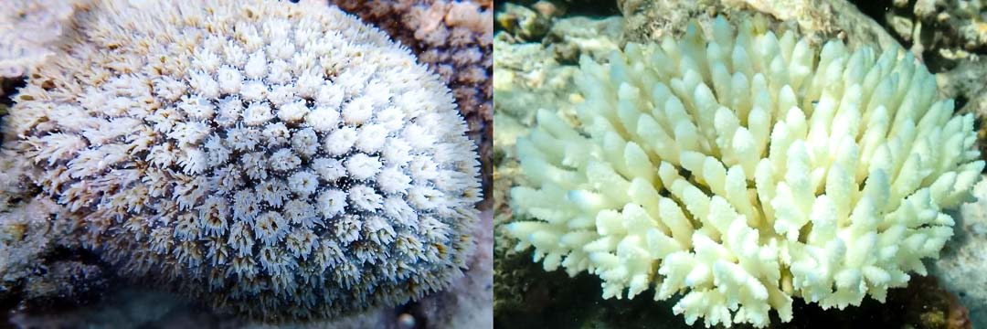 Reefscapers coral bleaching on the reef Maldives 2020