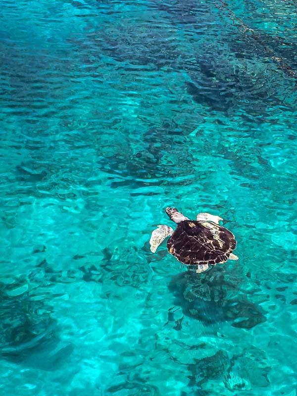 Shakti sea turtle with satellite tracking tag Maldives