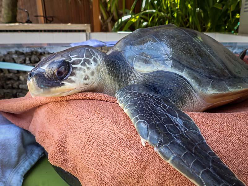 April Olive Ridley rescue turtle Maldives care day