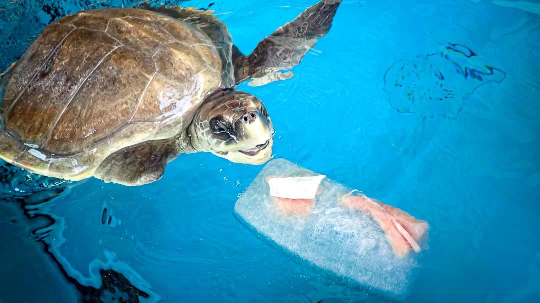 April Olive Ridley rescue turtle Maldives fish popsicle