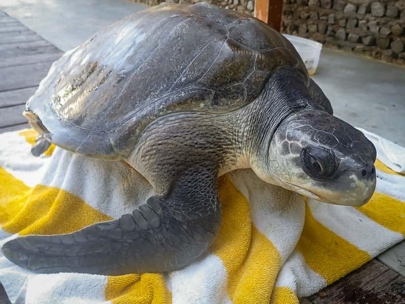 Nilukshi Olive Ridley rescue turtle Maldives care day