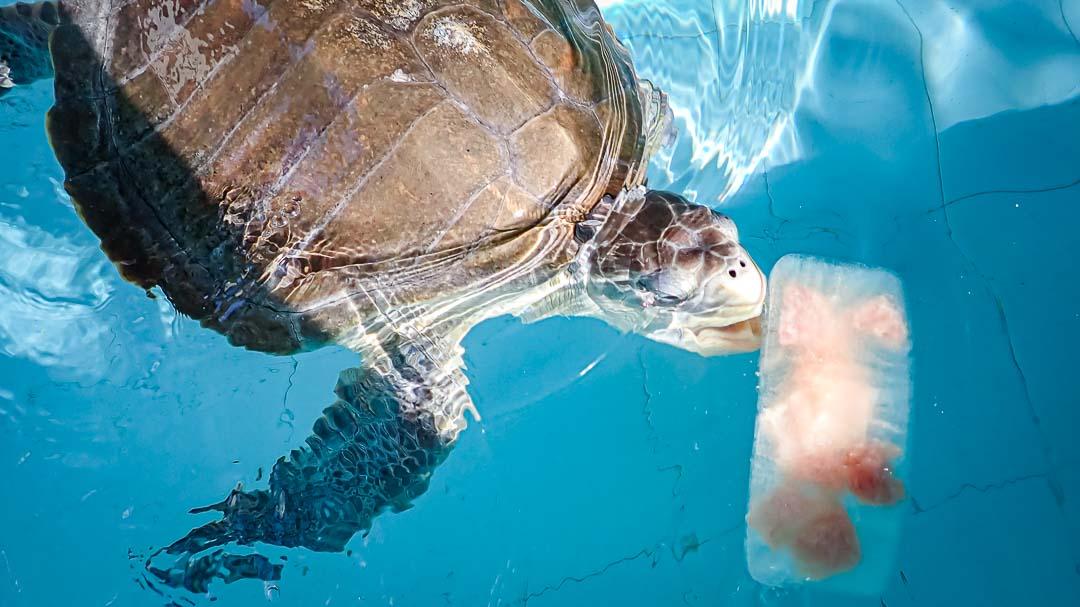 Nilukshi Olive Ridley rescue turtle Maldives fish popsicle