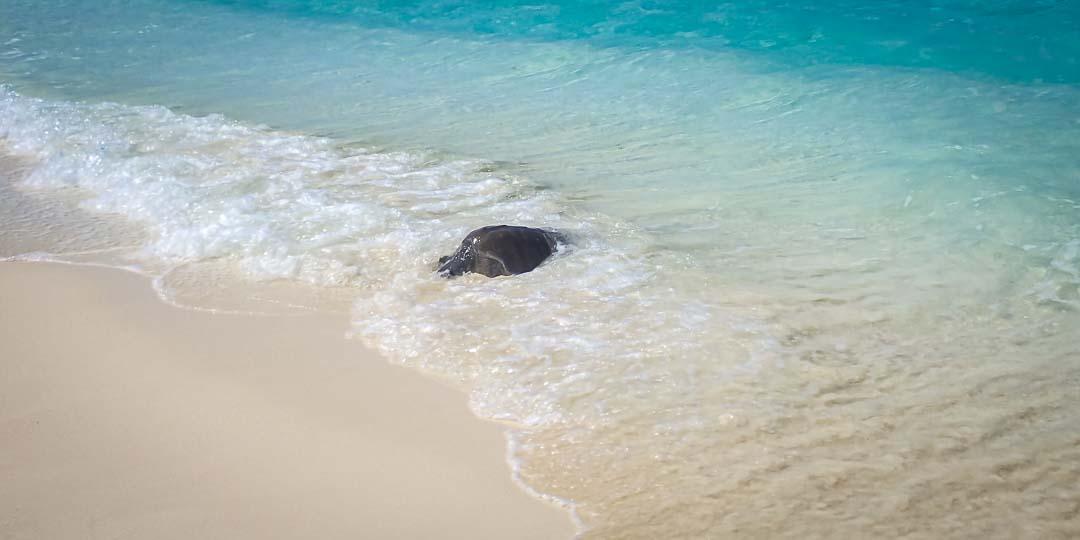 Nilukshi Olive Ridley rescue turtle Maldives release