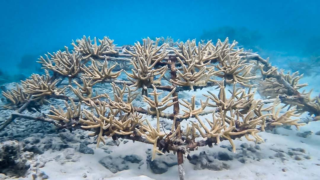 Reefscapers coral propagation Maldives healthy Acropora microphthalma