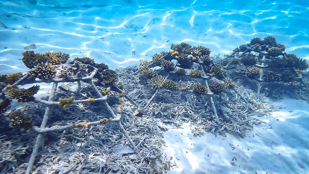 Reefscapers coral propagation Maldives rubble substrate