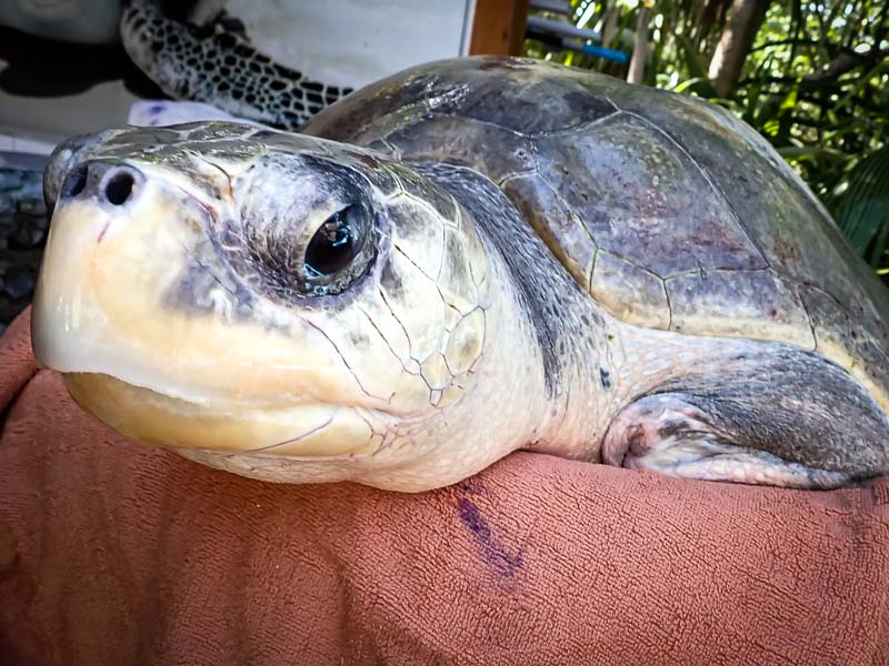 Taco Olive Ridley rescue turtle Maldives care