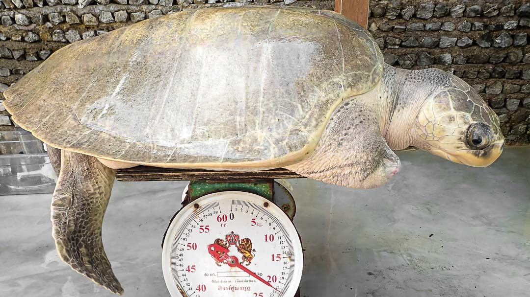 Taco Olive Ridley rescue turtle Maldives weighing