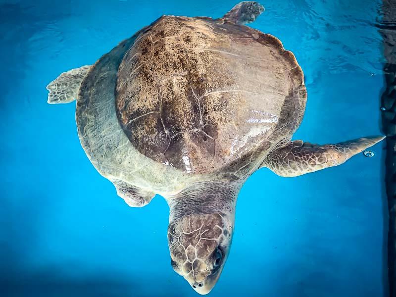 Varu Olive Ridley turtle Maldives recovery pool