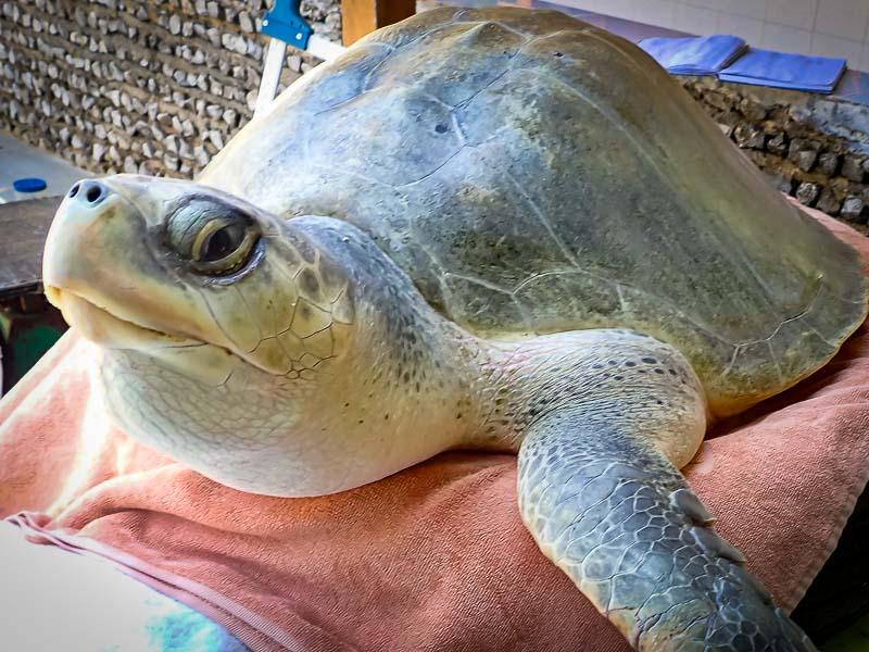 Varu Olive Ridley turtle Maldives treatments