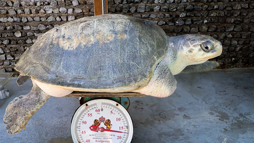 Varu Olive Ridley turtle Maldives weighing-in