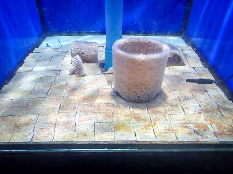 Aquarium Aurelia scyphistoma tank