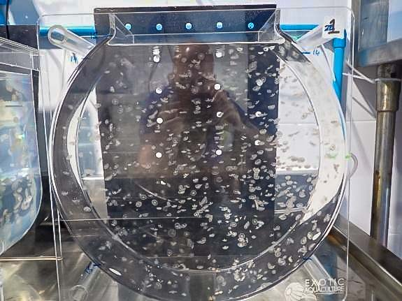 Aquarium jellyfish Aurellia staging tanks