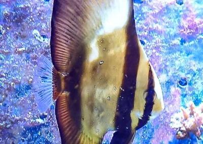 Aquarium juvenile batfish