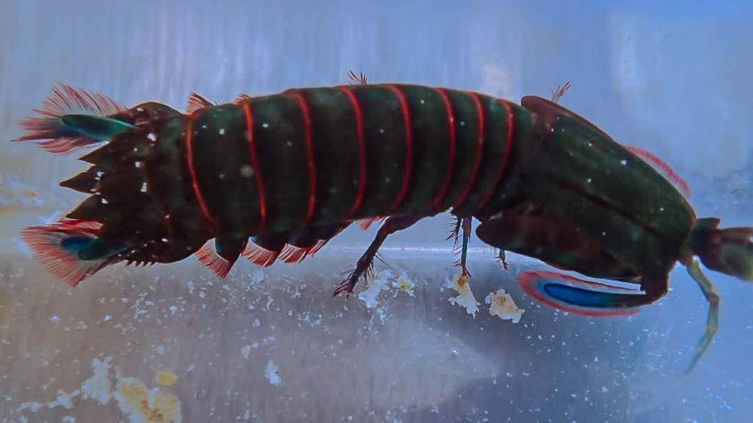 Aquarium mantis shrimp
