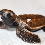 Hawksbill turtle hatchlings stranded Maldives